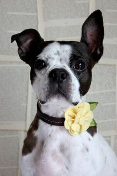 Light Yellow Felt Flower Dog Collar by littlebluefeather on Etsy, $10.95