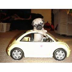 Pug in a bug