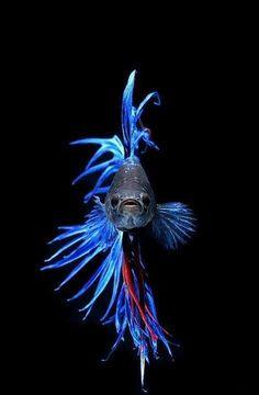 Twitter / stunpics: The Siamese fighting fish (Betta) https://twitter.com/stunpics/status/318719840208703488/photo/1