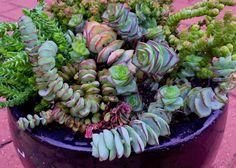 Nice succulent pot full of stacked crassulas by Belinda Jane Seery