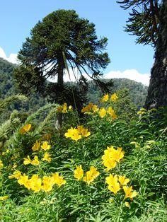 A short review of the beautiful Amancay, a native flower that grows in South America. It has developed into the cultivar Alstroemeria of present day international fame. In Chile it growa like a weed all over the countryside. Includes the legend of love..