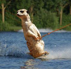 Meerkat Funny | water skiing meerkat - Photochopz.com