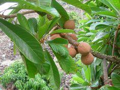 Arbol de mamey mexicano conocido también como nispero o zapote rojo fruta deliciosa parte de la flora en Chiapas Mexivo