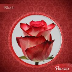Bicolor cream with red edges, Blush. A rose full of life and color… nature's awesome creation. Visit us: www. Organic Roses, Blush, Cream, Vegetables, Awesome, Nature, Life, Color, Creme Caramel