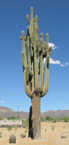 Giant Giant Saguaro.  This one is very old.