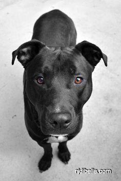 pitbull lab mix images looks like oz :) Pitbull Lab Mix, Pitbull Terrier, Black Pitbull Puppies, Lab Pit Mix, Bull Terriers, Boxador Puppies, White Pitbull, Dogs Pitbull, Husky Puppy