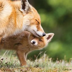 The first lesson of red fox,Red Fox is a frequent visitor of protectors. There are traces of red fox in the whole Eurasia, North America, Africa, Oceania and even Antarctica. red fox animals animals# survival skills of red fox pets pets fox Animals And Pets, Funny Animals, Cute Animals, Nature Animals, Animals And Their Babies, Wild Life Animals, Mother And Baby Animals, Animals Kissing, Animal Babies