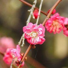 On instagram by eva09150 #landscape #contratahotel (o) http://ift.tt/1Tkkktx 暖かい赤みの梅の花 Warm redness of plum blossoms   #Flowers #Flower #はな #floweroftheday #plants #naturelove #花 #Nature  #bestnatureshot #風景#綺麗 #眺め#Landscape #Vista  #follow #aichi#hotflower  #花言葉#nagoya #beautiful #Flower_japan_nagoya_yama