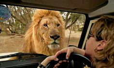 Remember, it's important to maintain eye contact with lions at all times of possible attack. Difficult not to here!!