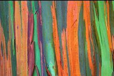 Eucalyptus deglupta is a tall tree, commonly known as the Rainbow Eucalyptus, the Mindanao Gum, or the Rainbow Gum.