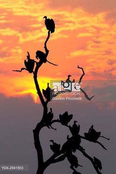 Lappet-faced Vulture (Torgos tracheliotus), on the tree, Chobe National Park, Botswana. © Gaston Piccinetti / age fotostock - Stock Photos, Videos and Vectors