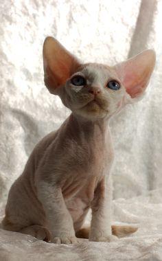Photo By Peter Hasselbom Devon rex kitten  (just like my Yoda when he was a kitty, I miss him so!)