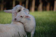 Lambs are so cute!