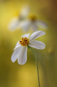 Bidens | by Mandy Disher.  Family:	Asteraceae Subfamily:	Asteroideae Tribe:	Coreopsideae Genus:	Bidens