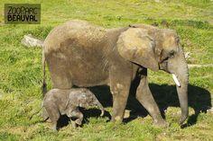 Rungwe, bébé éléphant. Au terme de 23 mois de gestation, un éléphanteau issu d'une insémination artificielle a vu le jour à Beauval le 20 juillet 2012 : une première en France !