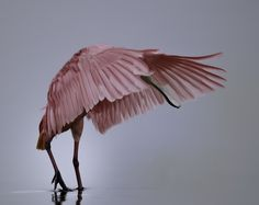 Roseate Spoonbill.  I've seen a couple of these in SW Florida.  They are gorgeous.