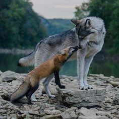 sorry, but the wolf is cooler n cuter....