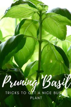 See that beautiful bushy basil that grows at the store, garden center or online. Well you CAN grow that yourself. It's all in the pruning. Find out how here. Gardening For Beginners, Gardening Tips, Growing Herbs At Home, Pruning Basil, Basil Plant, Small Space Gardening, Growing Tomatoes, Potting Soil, Easy Garden