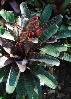 """Bromeliad.  I've propagated 3 of these from the original """"mother"""" plant.  They are very easy to grow."""