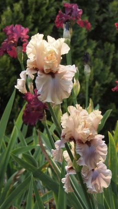 "Tall Bearded Iris ""Enter The Dragon"""