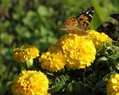 yellow  plus a butterfly