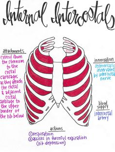 Muscular Anatomy 101 // A Full Set of Drawn Muscle tissue with Attachments, Innervations, Blood Provides, and Actions! Yoga Anatomy, Anatomy Study, Anatomy Drawing, Anatomy Art, Physical Therapy School, Physical Therapist, Occupational Therapy, Muscular System Anatomy, Lymph Massage