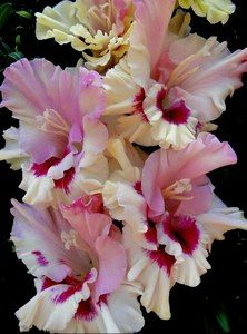 Gladiolus Cranberry in sugar (Dybov)