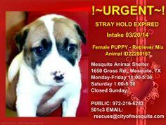 Female Puppy in need of URGENT adoption! MESQUITE TEXAS