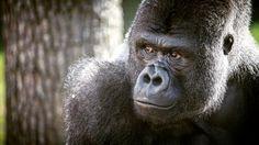 Gorilla © Sándor Daku