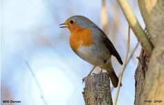 """Pour s'adapter au bruit, le rougegorge doit """"prendre de la hauteur""""     Cet oiseau très territorial, qui chante jusqu'en décembre, tente de s'adapter de différentes manières à notre pollution sonore.  Photographie : Willi Dorren #ornithologie #oiseaux #nature"""