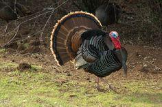 turkey+hunting | top10-turkey-tips-940x626.jpg