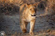 Wild lions currently exist in sub-Saharan Africa and in Asia. They typically inhabit savanna and grassland, although they may take to bush and forest. Within Africa, the West African lion population is particularly endangered.