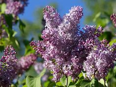 Syringa Vulgaris, Lilac, Herbs, Garden, Nature, Flowers, Plants, Hydroponics, Pictures