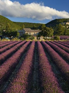 French town of Grasse, surrounded by fields of lavender, jasmine, mimosa, orange blossom and violets.
