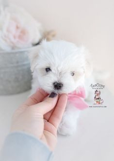Maltese Puppy For Sale Teacup Puppies 374 A Maltese Puppy