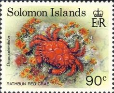 Etisus splendidus (Solomon Islands)