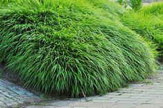 Love the shade of green, so fresh :) Hakonechloa macra Flora Garden, Garden Plants, Asian Garden, Gardening Courses, Plant Pictures, Plant Species, Ornamental Grasses, Landscaping Plants, Back Gardens