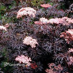 'Black Lace' Elderberry