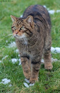 Scottish Wildcat, Felis silvestris grampia by Lily Mendes da Costa on 500px