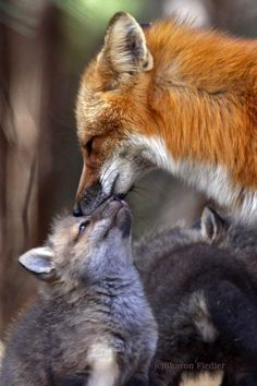 I saw a Mother red fox and two kits while driving home from my daughters house the other night.  So cute.  They were trying to catch a frog that was hopping along side of the road too.