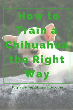 How to Train a Chihuahua | One of the most easily recognized and consequently, common dog breeds in the USA is that cute and compact breed called the Chihuahua. It may seem like an easy breed to take care of, considering its diminutive size. However, not all Chihuahua owners take a lot of time to really know the proper techniques involved in training this particular breed. So check out this article we prepared for you on how to train your chihuahua!