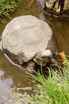 La Granja del Tío Mario Tortoises, Turtles, Mario, Animals, Animales, Tortoise, Turtle, Animaux, Tortoise Turtle