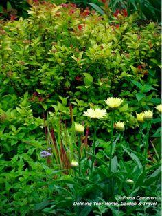 Defining Your Home, Garden and Travel.  Spirea 'Magic Carpet' (back)  imperata cylindrica rubra var. koenigii 'Red Baron' (middle grass)  Leucanthemum 'Broadway Lights'TM (front)
