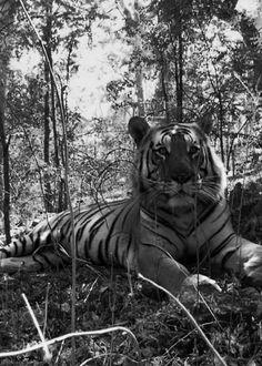 Bengal Tiger black and white animals tiger animal animal pictures bengal tiger