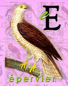 E for ÉPERVIER.Sparrowhawk animal ABC Buffon par BerniesArtPrints