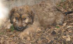 catalan sheepdog photo | Catalan Sheepdog Puppies For Sale Usa