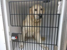 03/15/17-HOUSTON-EXTREMELY URGENT - This DOG - ID#A479518    I am a neutered male, tan Golden Retriever.    My age is unknown.    I have been at the shelter since Mar 15, 2017.    This information was refreshed 29 minutes ago and may not represent all of the animals at the Harris County Public Health and Environmental Services.