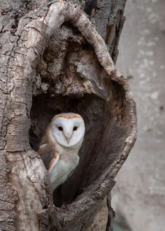 The barn owl is one of the most widely distributed birds, found worldwide with the exception of polar and desert regions. There are more than 30 different species. They prefer open plains and low-lying woodland. Amazing Animals, Animals Beautiful, Cute Animals, Pretty Animals, Owl Photos, Owl Pictures, Owl Bird, Pet Birds, Small Birds