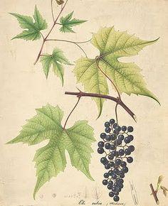Michaux Grapes (from André Michaux, a French botanist) by William Prestele ,vintage botanical graphics, vintage fruit images.