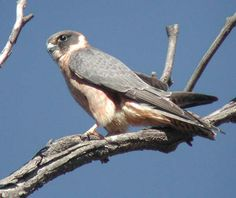 Australian Hobby or Little Falcon is a falcon found mainly in Australia. It is also a winter migrant to Indonesia and New Guinea.